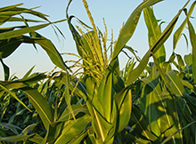 Corn Fertility and Starter Fertilizers