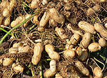 Plant Growth Regulator in Peanuts