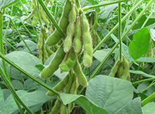 Micronutrients Important for Soybean Yields