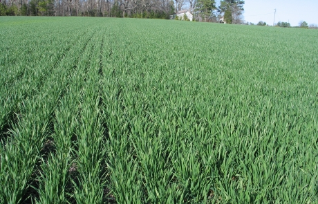 Boost Fall Tillering in Winter Wheat with Impact F