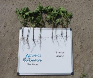Advance Concentrate plus starter (left) compared to starter alone (right) on Cotton