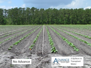 Advance in tobacco transplant water (right) compared to no Advance (left)