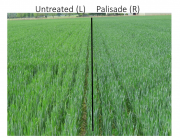 Untreated (left), Palisade (right)