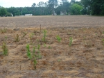 Resistant marestail plants 2 weeks after glyphosate application