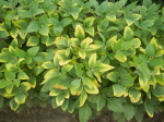 Potash deficiency in soybeans